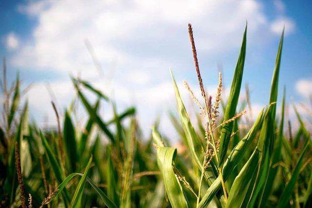 Maisbauern wollen Notfallzulassung für Schädlingsmittel