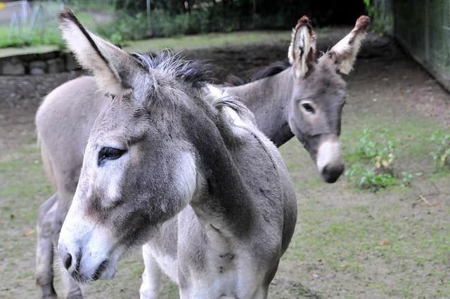Zwei neue Esel im Schwarzwaldzoo