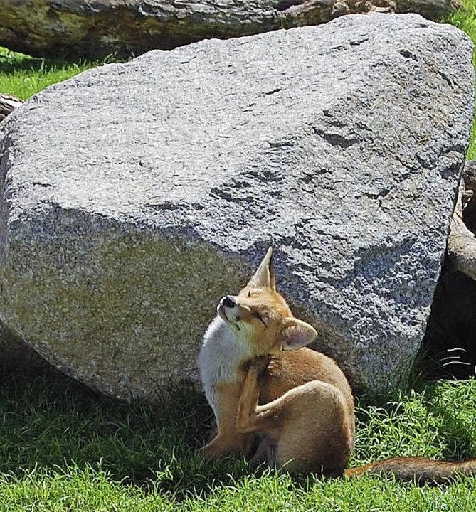 Oberste Fuchspflicht:  putzen  | Foto: Bärbel Nückles