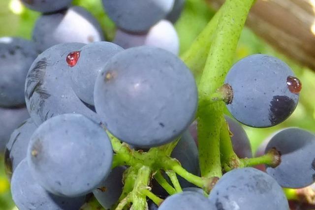 Weinbauinstitut: Beobachten Sie Ihre Reben!
