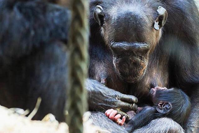Schimpansen-Baby im Basler Zoo geboren