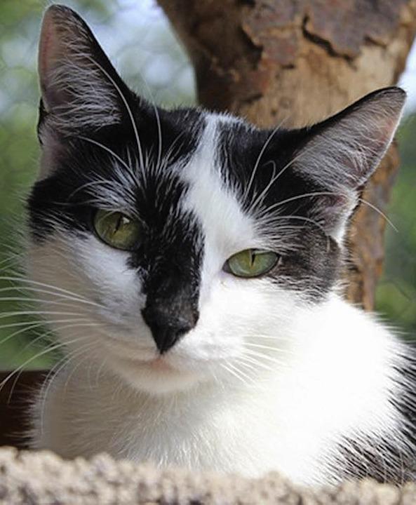 Kätzchen Maili gilt im Tierheim Emmendingen als schüchterne Schönheit.   | Foto: Tierheim