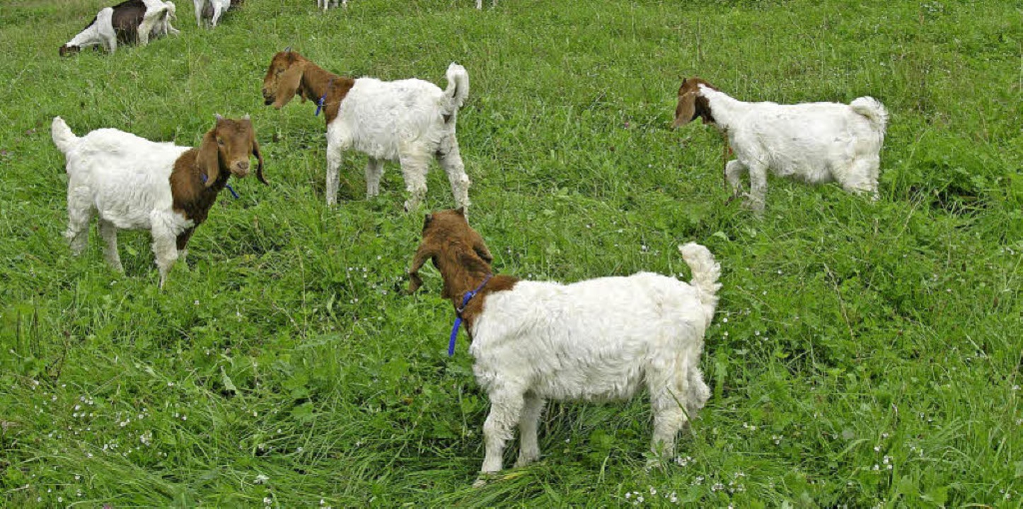 Vierlinge sind bei Ziegen selten und s...enfestes in Gersbach eine Attraktion.     Foto: Rolf Strohm