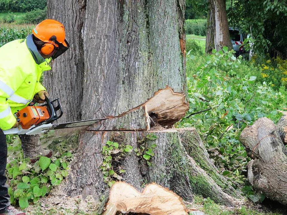 Mitarbeiter des Bauhofs fällten die Bäume.    Foto: privat