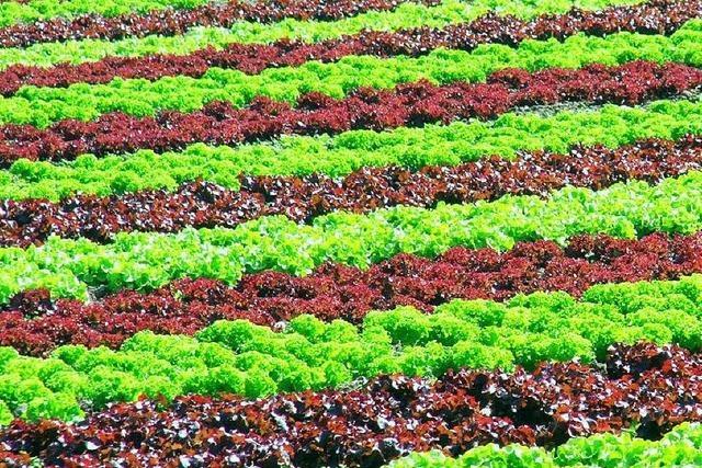 Nacktschnecken dezimieren Salaternte im Breisgau