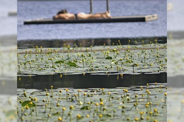 Gelbe Teichrose blüht im Schlüchtsee