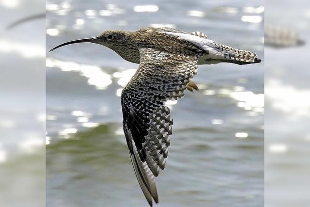 Wasservogelbeobachtung an den Klingnauer Stausee