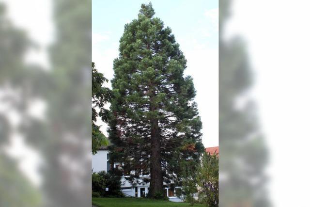 Mammutbaum droht die Axt