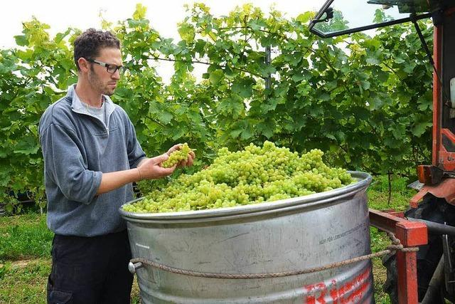 Erste Weinlese in Betberg