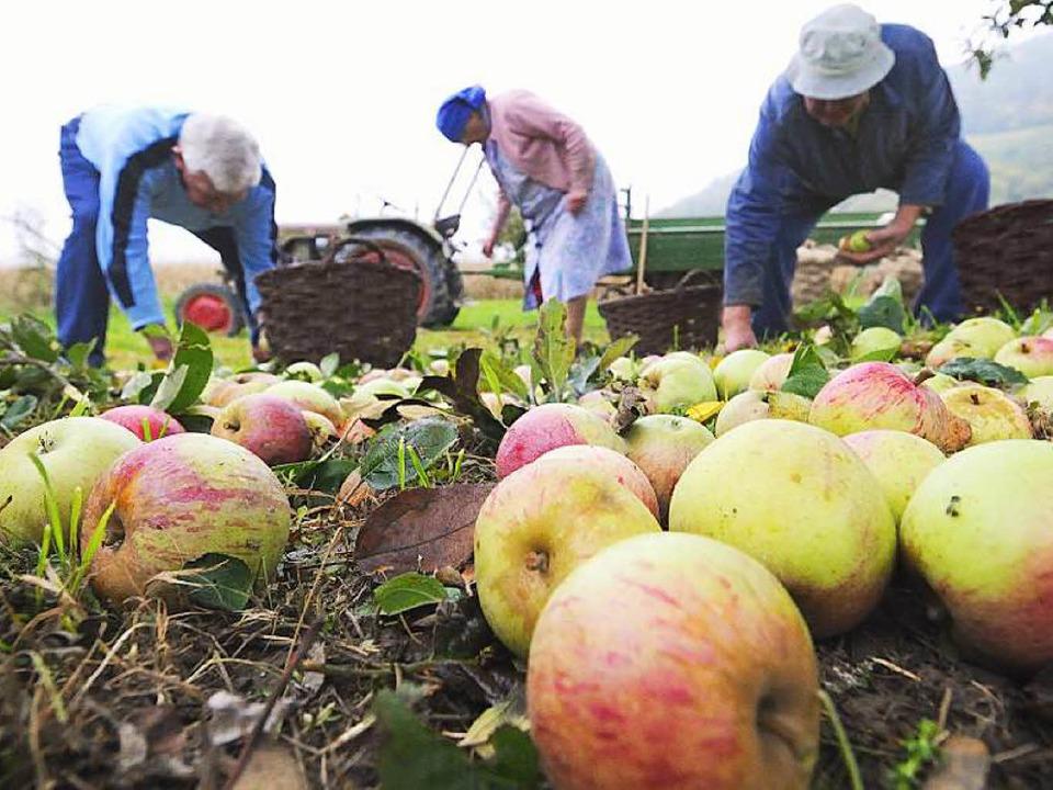 Mühselig und deshalb von Landwirten ni...: Apfelernte auf einer Streuobstwiese   | Foto: Gollrad