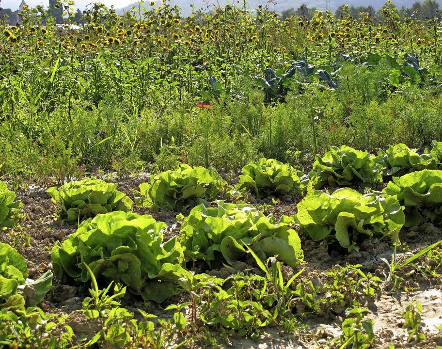 Salat und Fenchel auf den Gemüsefeldern  | Foto: Jutta Schütz