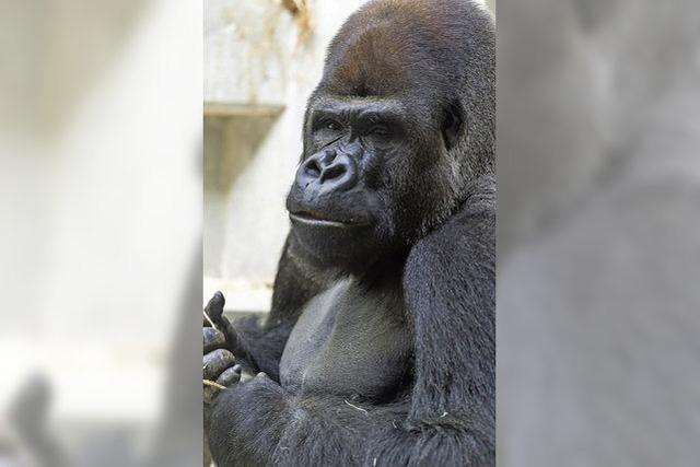 Neuer Gorilla-Silberrücken im Zoo Basel