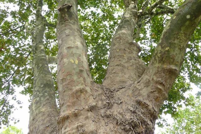 Baumkrankheit wird teuer: Viele Platanen von Pilz befallen
