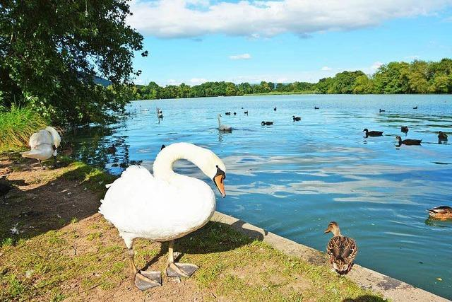 Immer mehr Schwimmer sind im Rhein unterwegs
