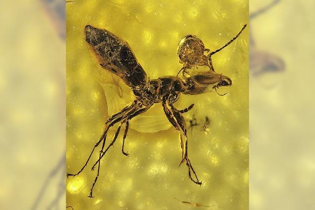 Bernstein zeigt Raubmilbe auf einer Ameise