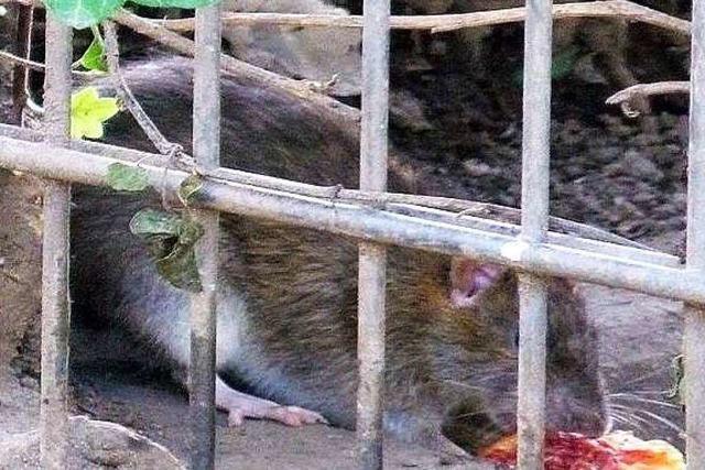 Rattenplage in Weingarten: Hilft es, Flächen zu roden?