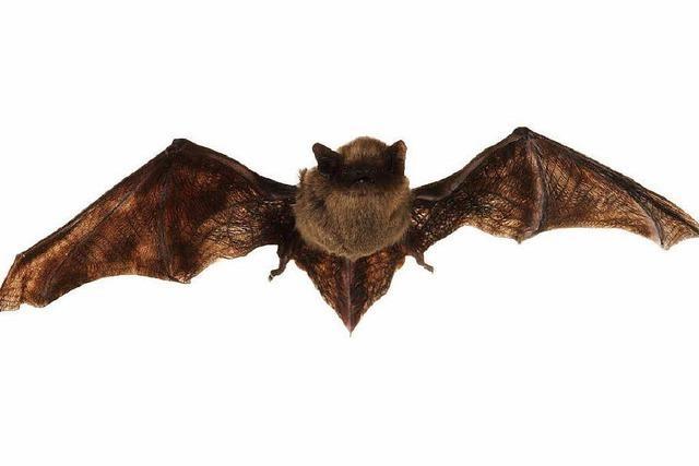 Fledermäuse übertragen viele gefährliche Erreger. Warum?