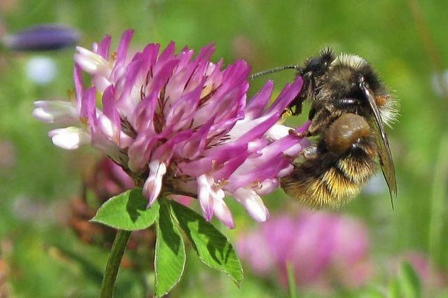 Kurzvorträge über Wildbienen