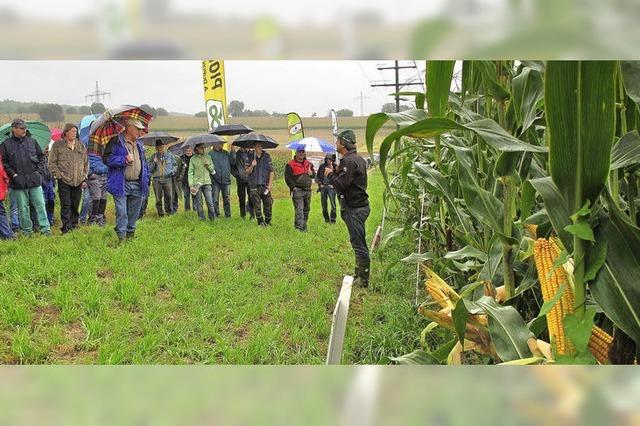 Der Mais in der Region hat vom vielen Regen profitiert