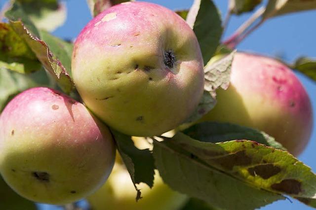 Äpfel vom Lebensbaum