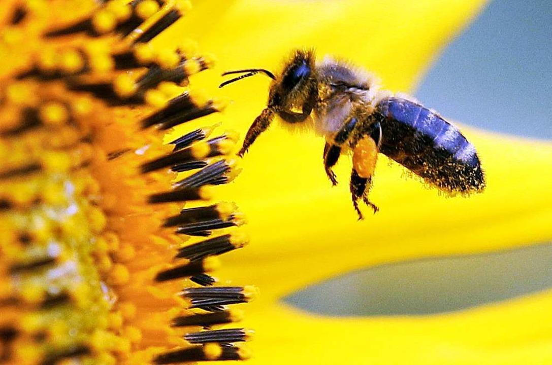 Das drittwichtigste Nutztier: Ohne Bes...n würden viele Ernten klein ausfallen.  | Foto: dpa