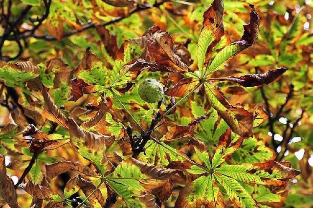 Kastanien leiden unter den Raupen der Miniermotte