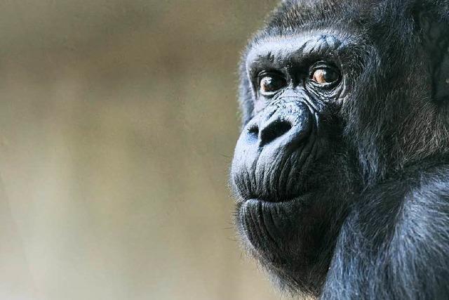 Berühmte Gorilla-Dame im Zolli wird 55 Jahre alt