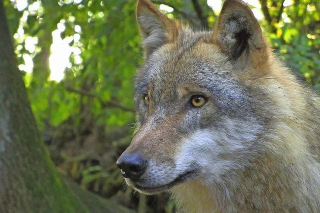 """""""Und wenn der Wolf kommt?"""