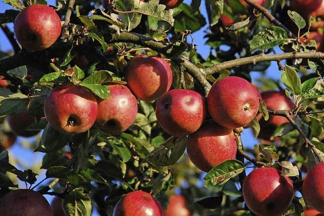 Heimische Äpfel werden zu Most verarbeitet