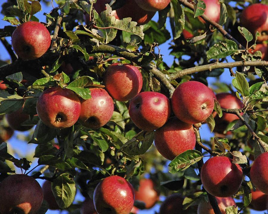 BUND sammelt  Äpfel aus Streuobstwiesen zum Mosten.    Foto: Schmidt