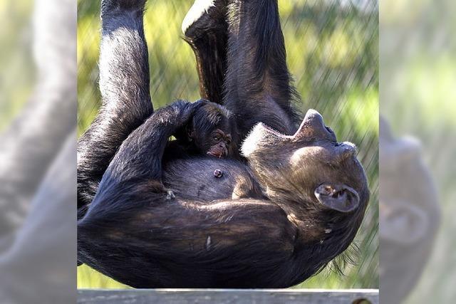 Kindersegen bei den Schimpansen