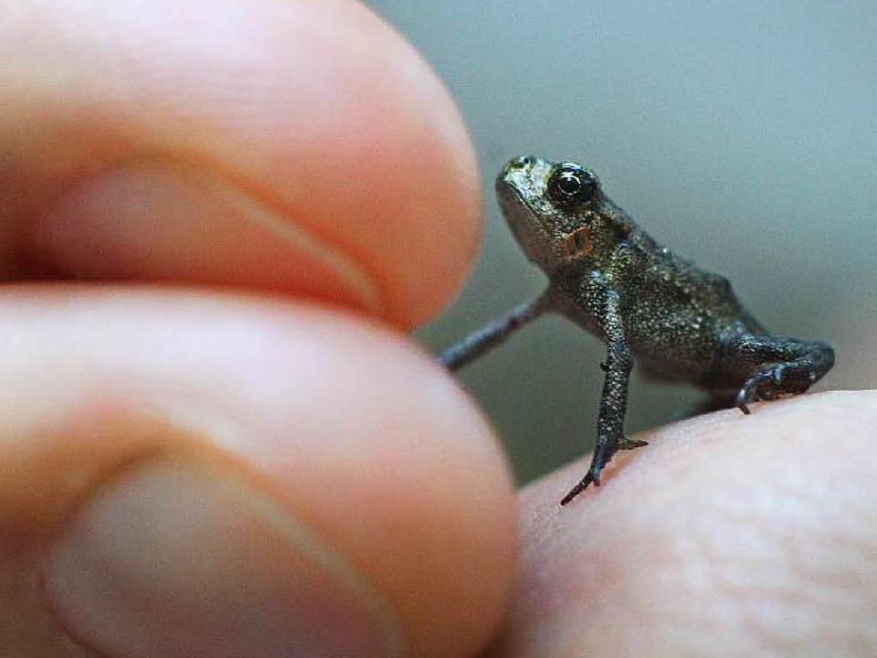 Kein Zentimeter groß ist dieser Minifr...en viele vom Aussterben bedroht sind.   | Foto: dpa