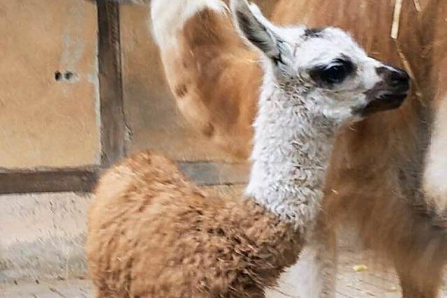 Neues Lama-Baby im Lahrer Stadtpark