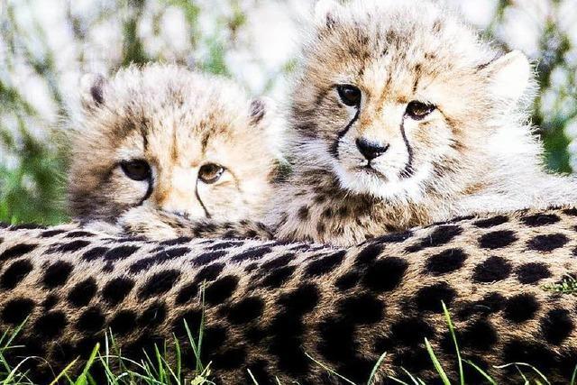Seltener Nachwuchs: Vier Geparden im Basler Zoo geboren