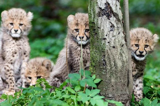 Vier Geparden-Babys im Zoo geboren