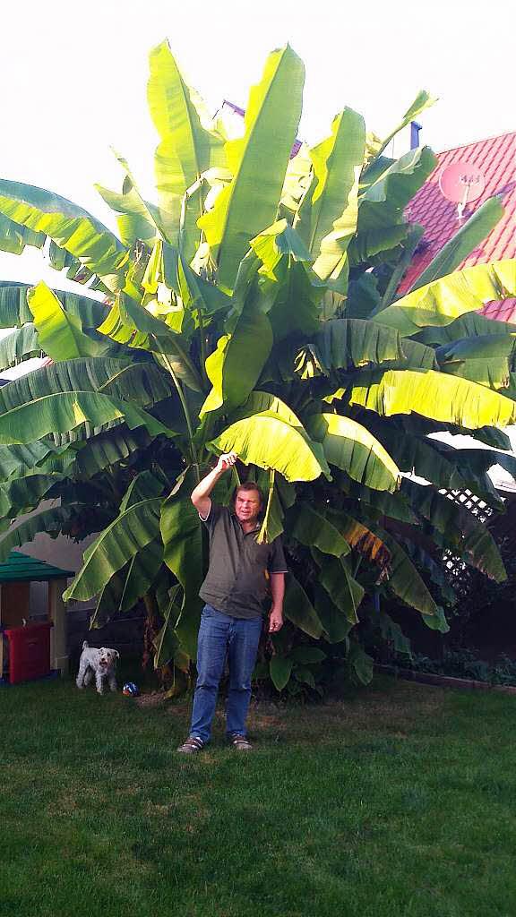 in orschweier w chst eine riesen bananenpflanze mahlberg badische zeitung. Black Bedroom Furniture Sets. Home Design Ideas