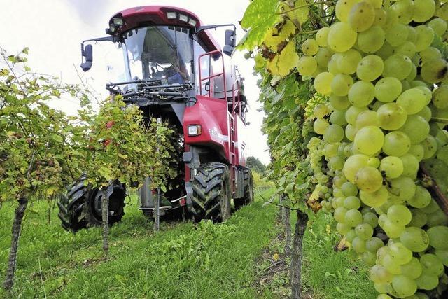 Winzer in der Region sind mit Mengen und Qualität ihrer Weintrauben zufrieden