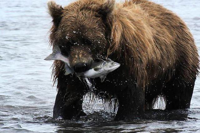 42-jährige Schweizerin wird von einem Bären getötet