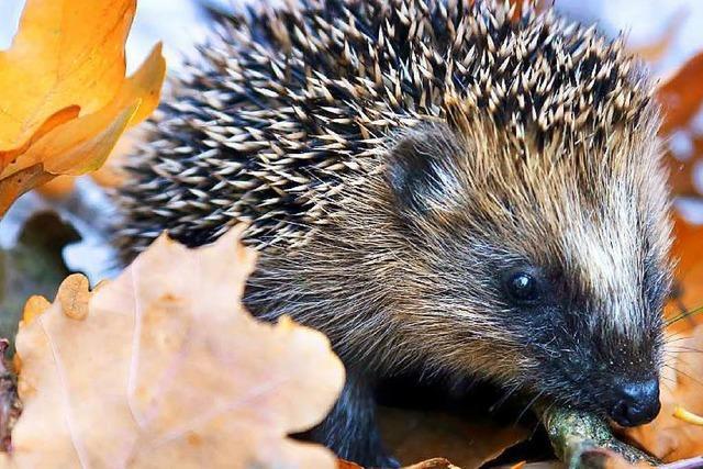Tierschutzverein warnt vor falscher Igel-Hilfe