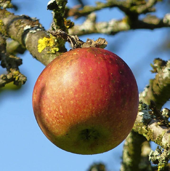 Begehrt und vielfältig verwertbar. Äpfel frisch vom Baum.     Foto: BZ