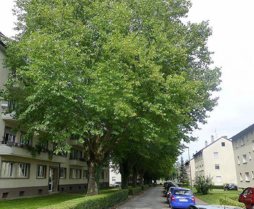 Die Platanen in der Wehrgasse haben si...ngen in den Häusern an der Wehrgasse.   | Foto: Ulrich Pfefferer