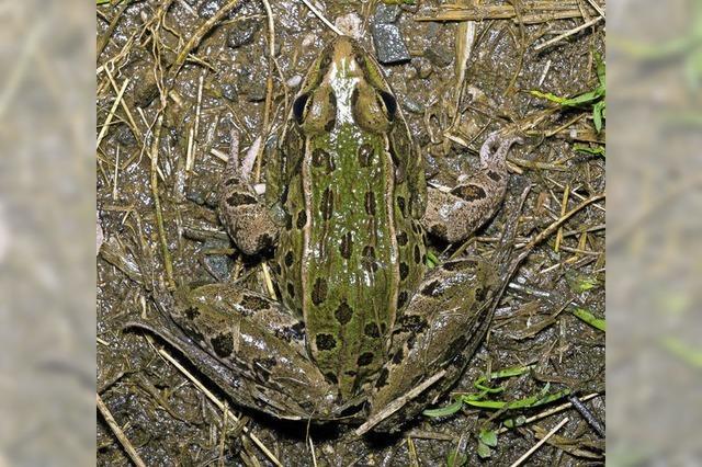 Neue Froschart in New York entdeckt