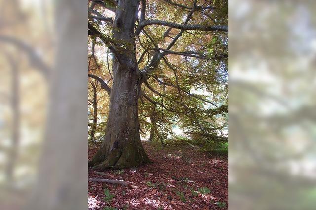 Markante Bäume werden geschützt