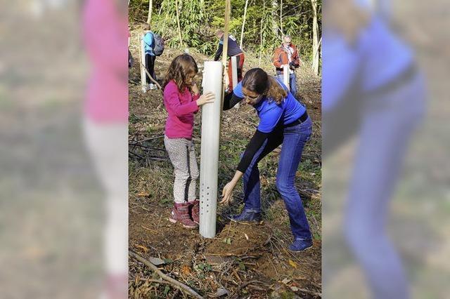 Traubeneichen für den Wald auf der Schwärze