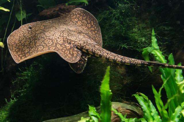 Antennenrochen – aus dem Amazonas in den Basler Zoo