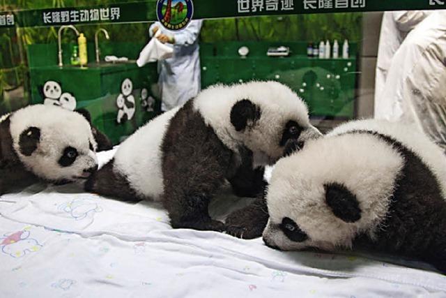 Die Panda-Drillinge von Guangzhou sind wohlauf