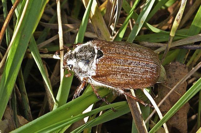 Flotter Käfer am Kaiserstuhl