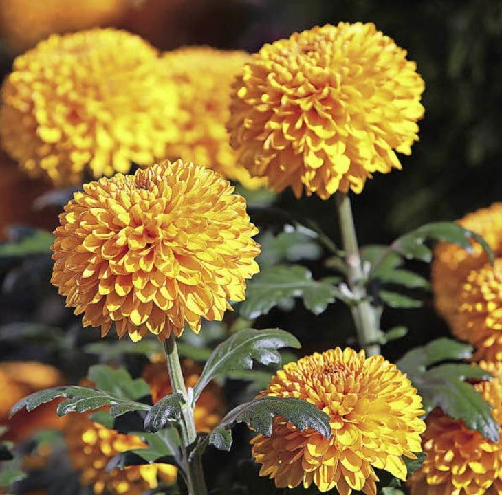 Chrysanthema: eine Erfolgsgeschichte   | Foto: ycb