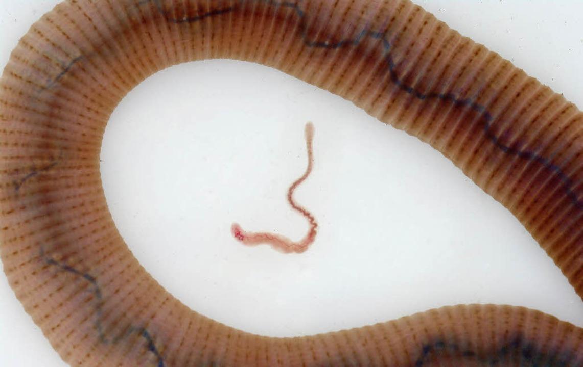 Der Riesenregenwurm im Vergleich zu ei...s zu 11 Zentimeter langen Aporrectodea    Foto: Otto Ehrmann