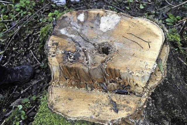 In Riegels Eschenwäldern droht bald der Kahlschlag
